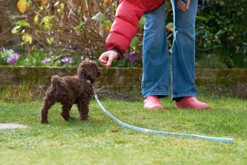 Miniature Poodle Puppy. Lead and clicker training for a miniature poodle puppy in the garden stock photography