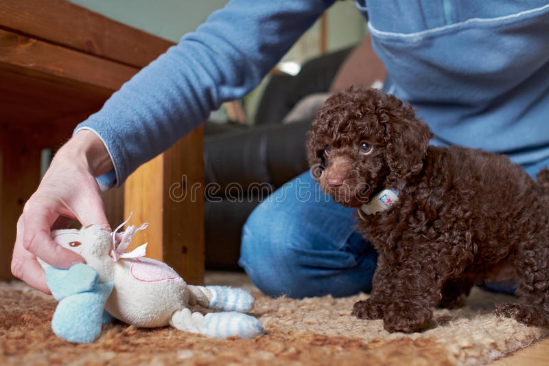 Miniature Poodle Puppy. A playful miniature poodle puppy with a soft chew royalty free stock photography