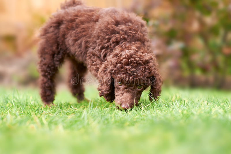 Miniature Poodle Puppy. A miniature poodle puppy playing on the grass in the garden stock image