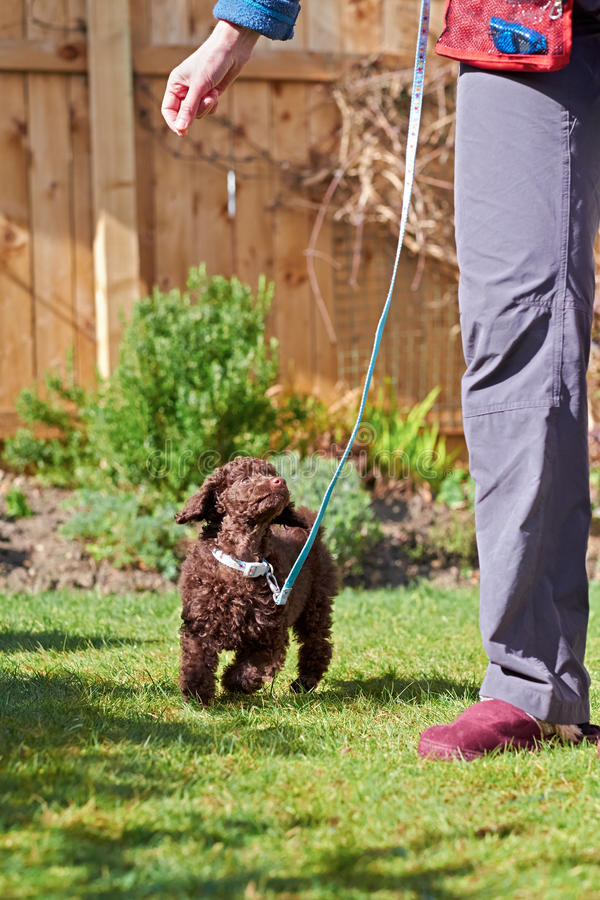 Miniature Poodle Puppy. A miniature poodle puppy playing on the grass in the garden royalty free stock photos