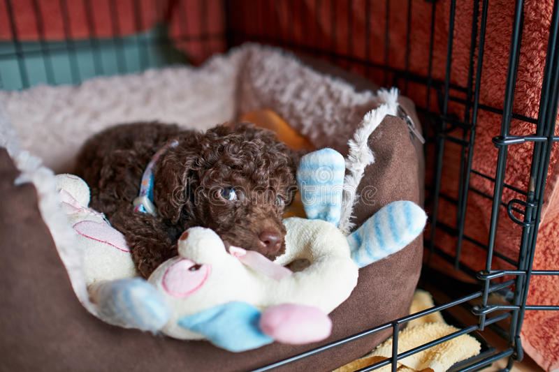 Miniature Poodle Puppy. A sleepy Miniature Poodle Puppy royalty free stock images