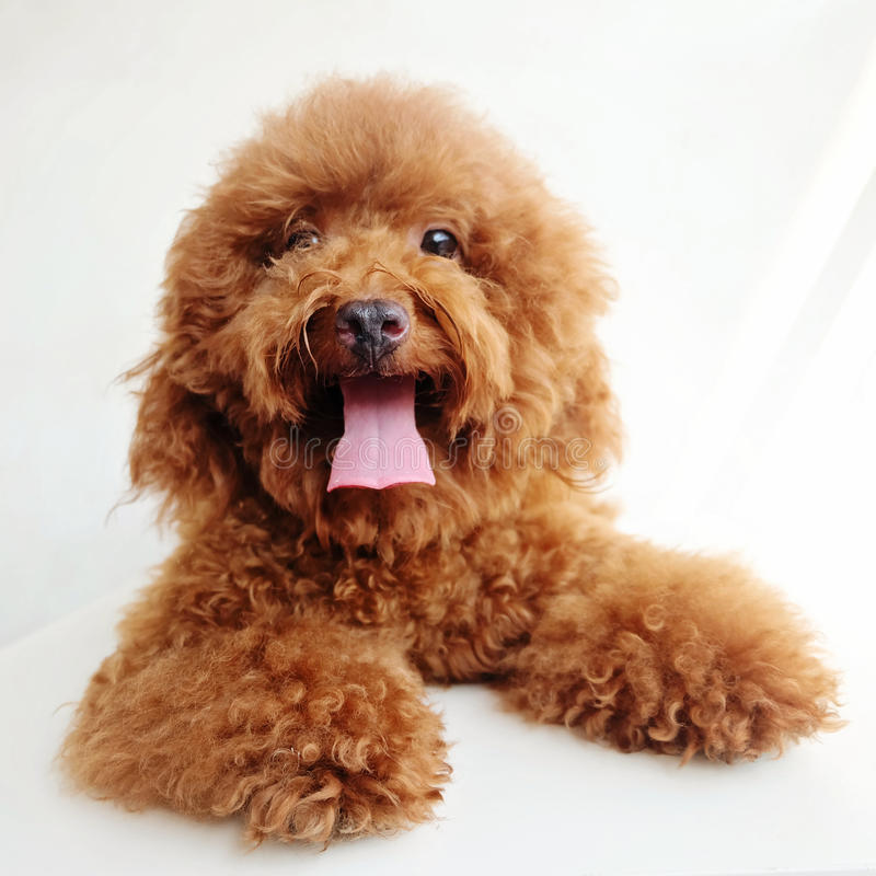 Miniature poodle puppy. And white background stock images