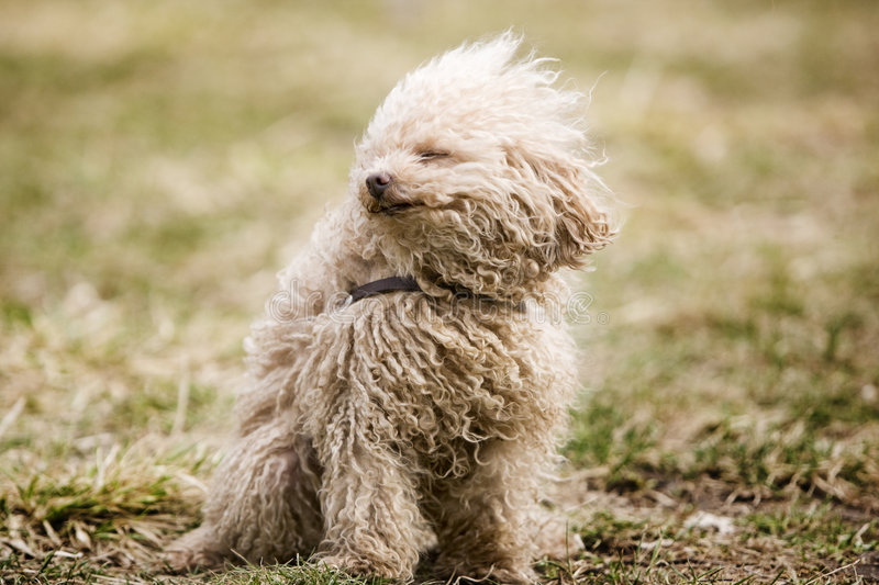 Miniature poodle toy stock image