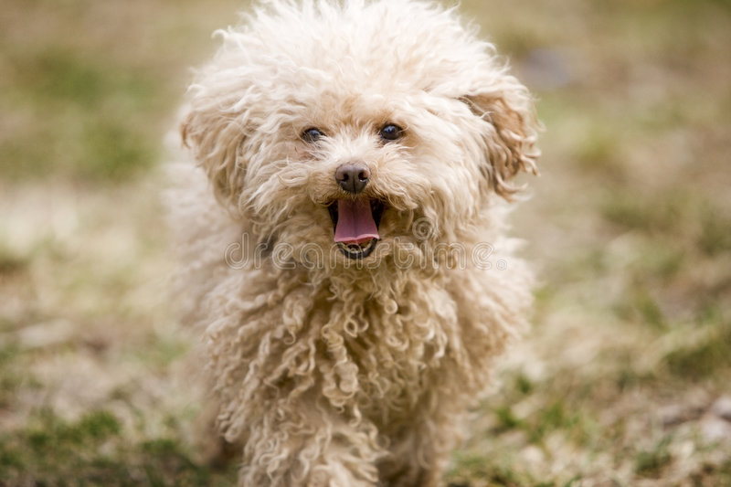 Miniature poodle toy. With open mouth stock photos