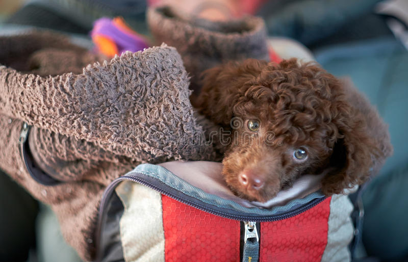 Miniature Poodle stock photography