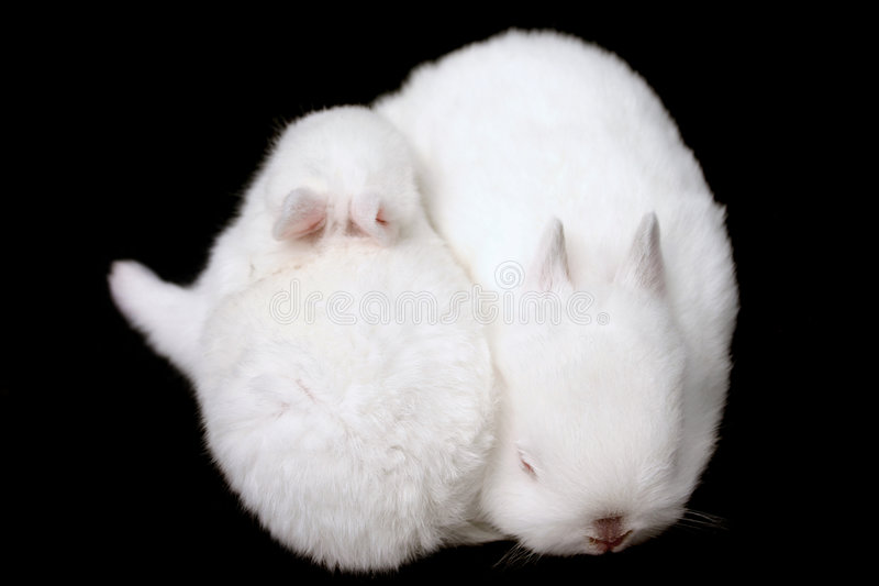 Miniature Rabbits royalty free stock images