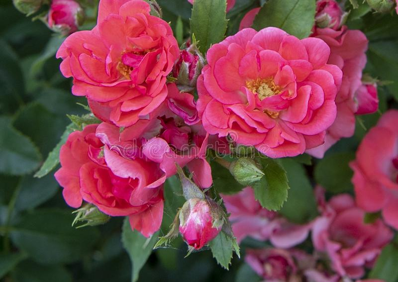 Miniature red roses and buds, Hall Park, Frisco, Texas. Pictured is a closeup view of miniature red roses and buds in the Hall Park development, Frisco, Texas stock photo