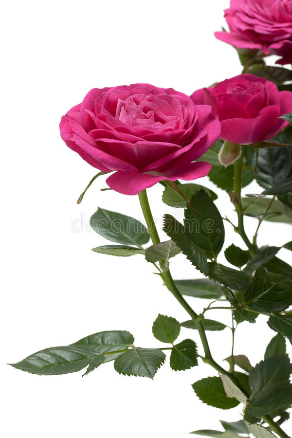 Miniature Rose house plant royalty free stock images