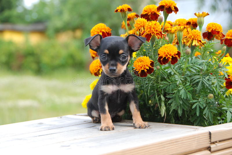 Miniature Russian toy terrier puppy with the flowers stock photo
