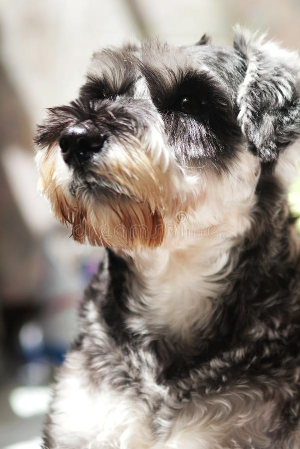 Miniature Schnauzer. For background use stock image