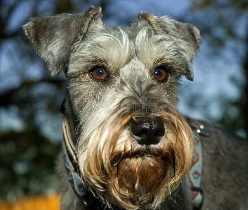 Miniature schnauzer dog close up dramatic backdrop stock image