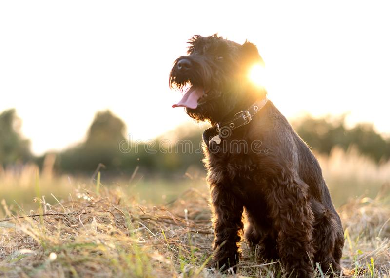 Miniature schnauzer dog plays at sunset royalty free stock photo