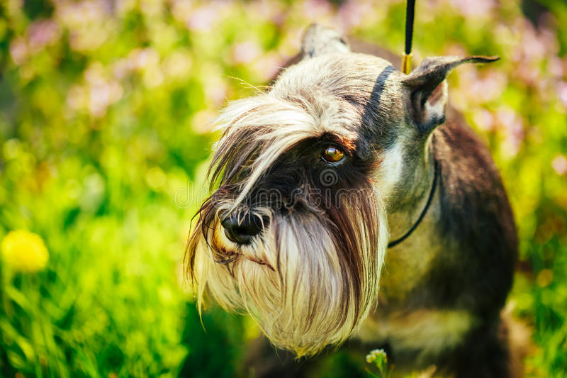 Miniature Schnauzer Dog Sitting In Green Grass Outdoor. Small Miniature Schnauzer Dog (zwergschnauzer) Sitting In Green Grass Outdoor. Adult Black-and-silver royalty free stock photography