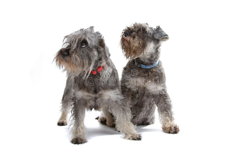 Miniature Schnauzer dogs royalty free stock photo