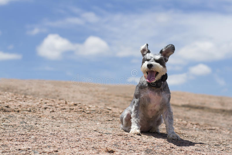 Miniature Schnauzer. Happy Miniature Schnauzer in the hot day of Enchanted Rock royalty free stock photo