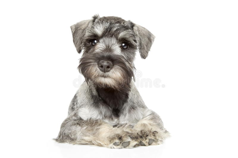 Miniature schnauzer puppy royalty free stock photos