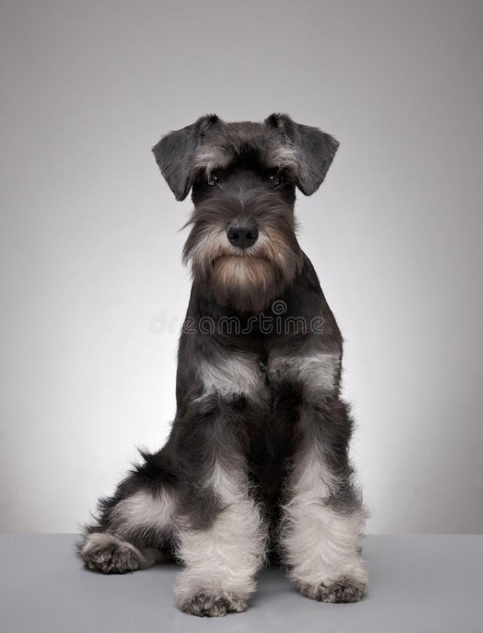 Miniature schnauzer puppy stock images
