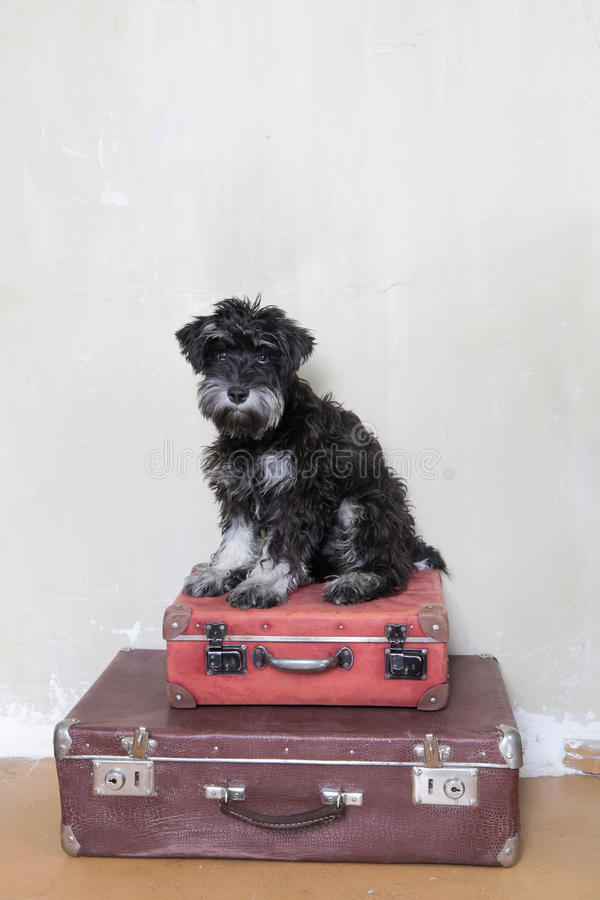 Miniature schnauzer puppy sitting on suitcases royalty free stock images
