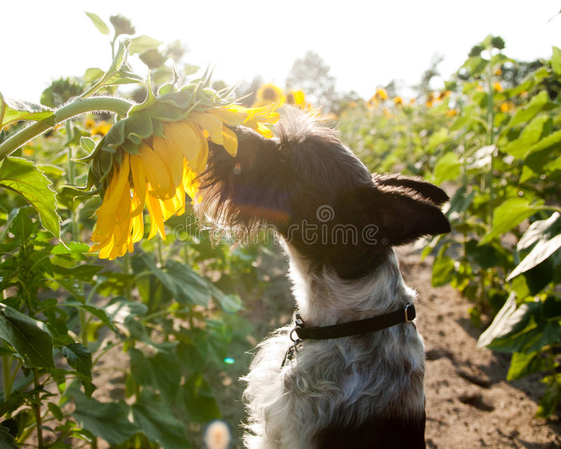 Miniature schnauzer in sunflowers stock image