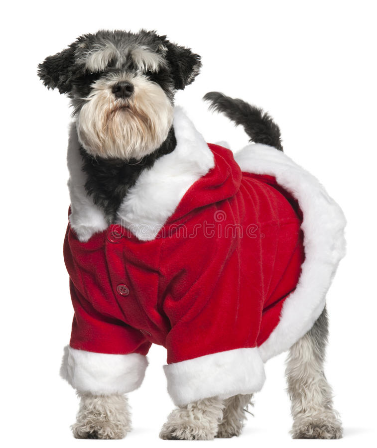Download Miniature Schnauzer Wearing Santa Outfit Stock Image - Image: 17598231
