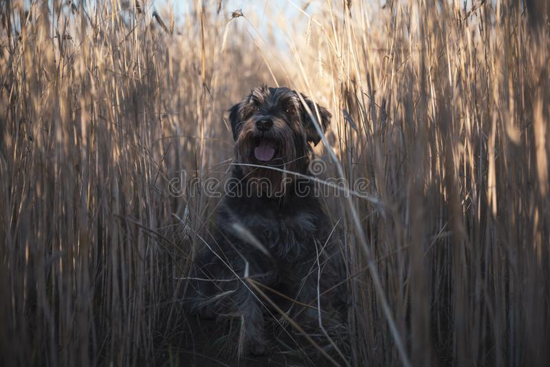 Miniature schnauzer Zwergschnauzer dog on a wheat field royalty free stock images