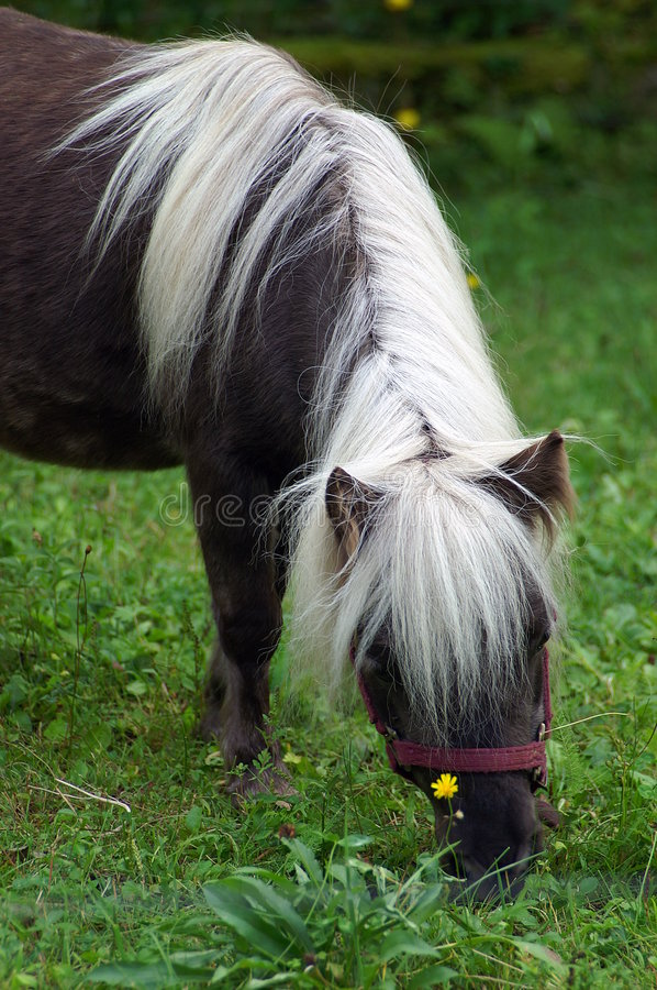 Miniature Shetland Pony. Shetland ponies, originating in the Shetland islands, are an ancient hybrid breed combining Viking and British Hill strains. In the 19th royalty free stock images