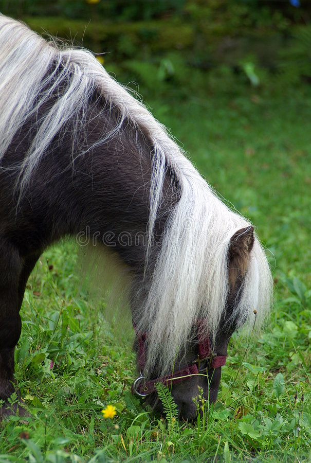 Miniature Shetland Pony. Shetland ponies, originating in the Shetland islands, are an ancient hybrid breed combining Viking and British Hill strains. In the 19th stock image