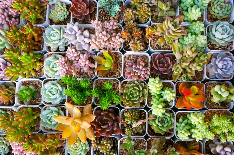 Miniature succulent cactus small there are many varieties plants at the garden stock photos