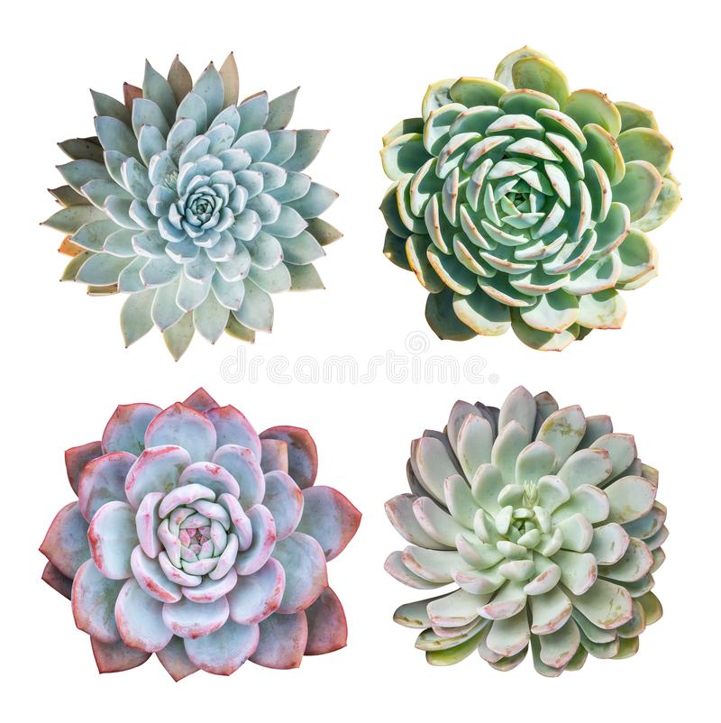 Miniature succulent top isolated on white stock photo