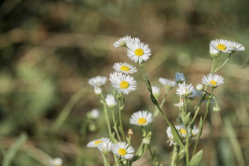 Miniature white flowers with small petals and yellow centers download miniature white flowers with small petals and yellow centers erigeron annuus stock image image mightylinksfo