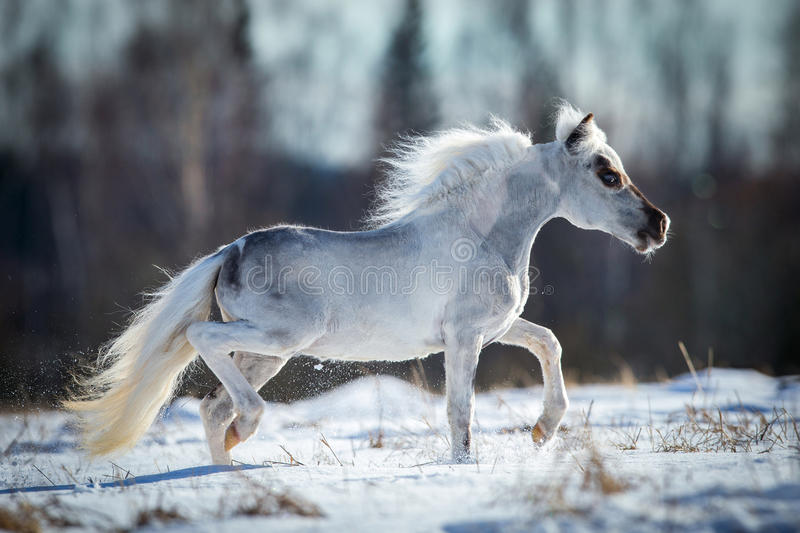 Miniature white horse runs in snow. In winter time royalty free stock images