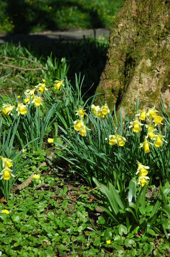 Download Miniature Woodland Daffodils. Stock Image - Image of timeless, daffodils: 2190347