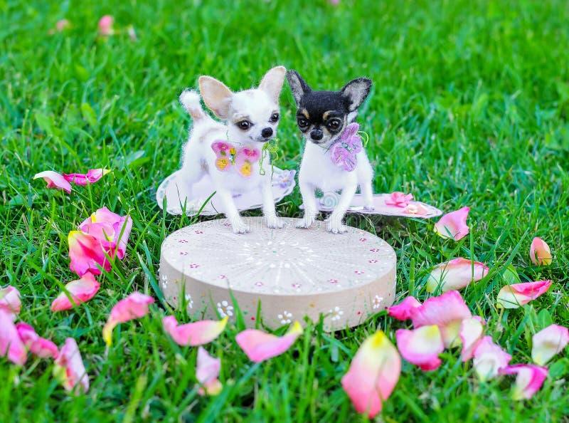 Miniaturen van Chihuahua-hond stock afbeeldingen