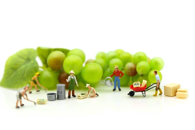 Miniaturleute: Teamlandwirtarbeit mit Fruchtkonzept agricultu stockfoto