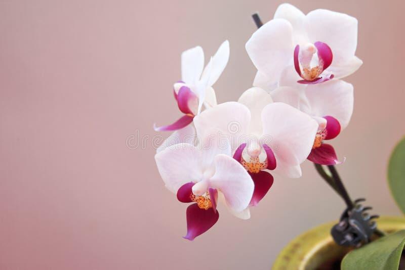 Miniaturowa biała i różowa orchidea w garnku zdjęcia stock