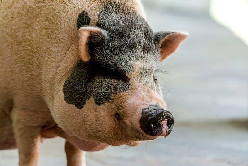Miniaturowa potbelly świnia obrazy stock