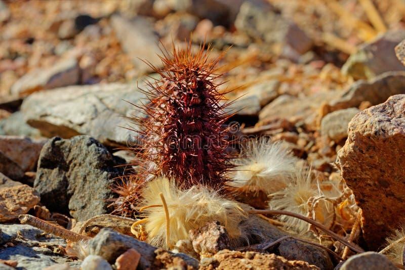 Miniaturowa spiky kaktusowa roślina fotografia royalty free