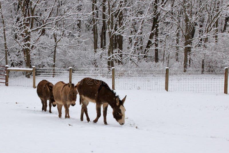 Miniaturowi osły w Śnieżnym paśniku zdjęcie royalty free