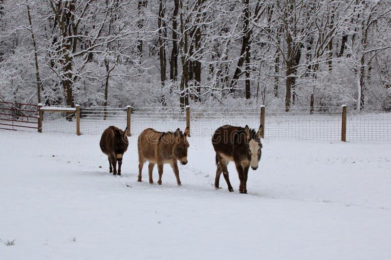 Miniaturowi osły w Śnieżnym paśniku obraz stock