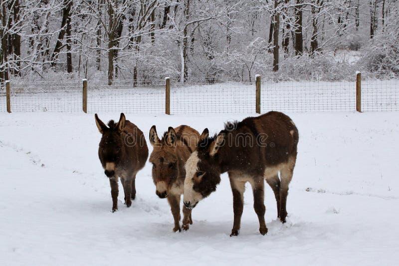 Miniaturowi osły w Śnieżnym paśniku obrazy stock