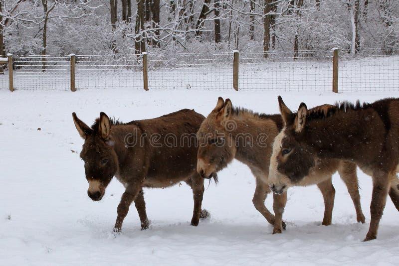 Miniaturowi osły w Śnieżnym paśniku fotografia stock