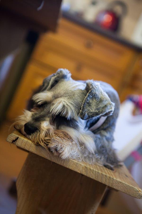 Download Miniaturowy Schnauzer Przysypia Na ławce Obraz Stock - Obraz złożonej z schnauzer, pies: 106923097