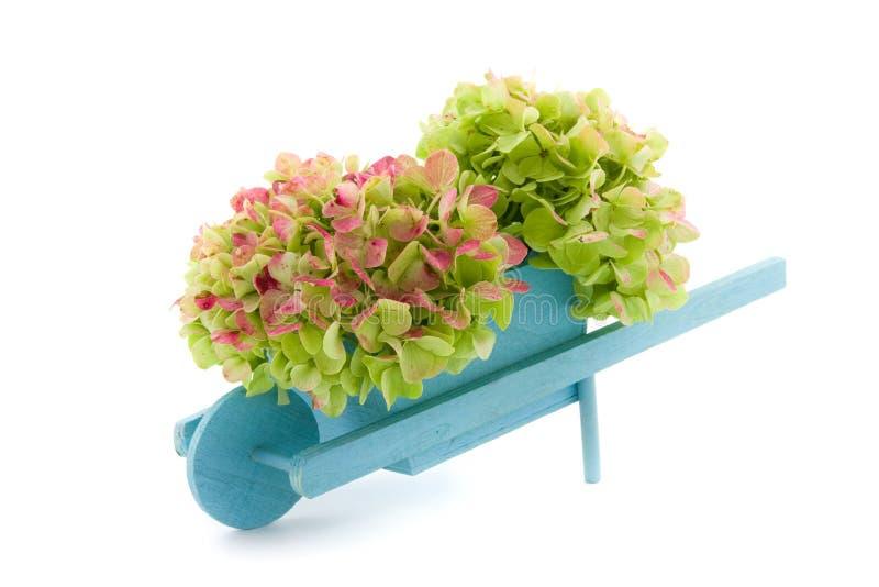 Miniaturowy wheelbarrow z hortensją fotografia stock