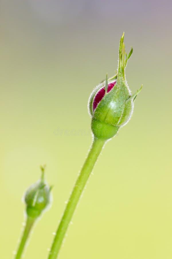 Miniatury róży pączek zdjęcie stock
