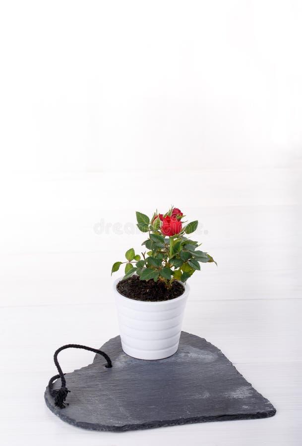 Miniatury róży roślina z czerwonymi kwiatami zdjęcia stock