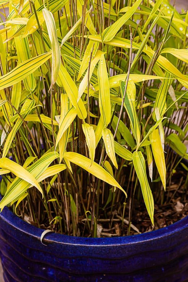 Miniaturyzuje obdzierającej liść bambusowej rośliny w kolorze żółtym i zieleni zdjęcie royalty free