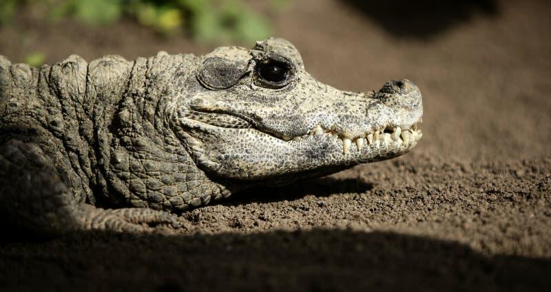Miniatuur crocodrile van Afrika, Aligators. stock afbeeldingen