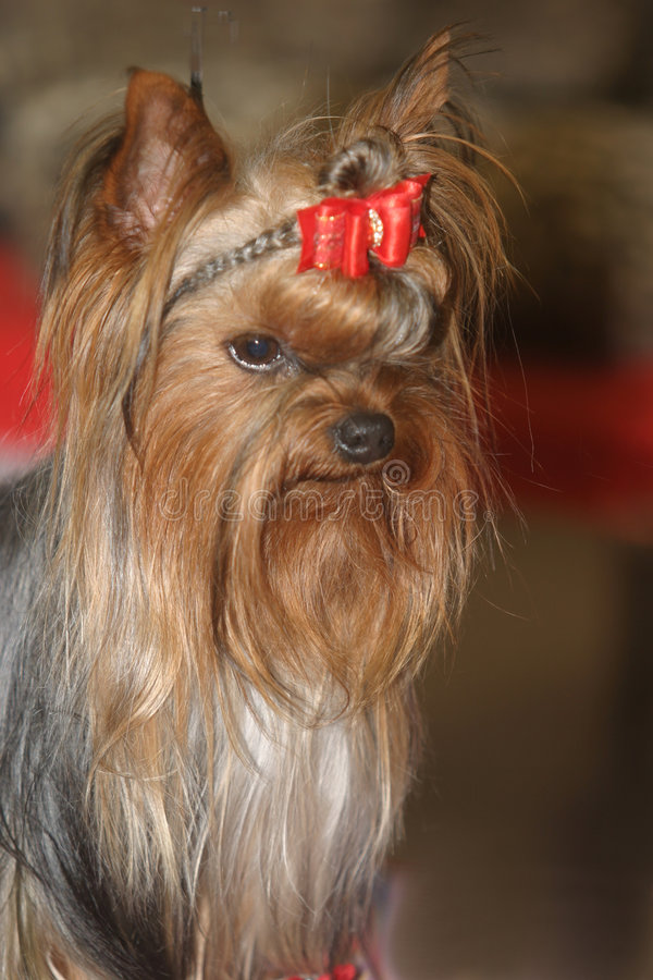 Miniatuur hond royalty-vrije stock foto's