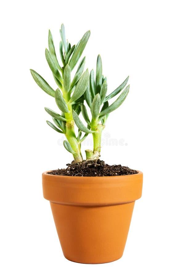 Miniatuur ingemaakte succulente Senecio serpens of blauwe die chalksticks op witte achtergrond wordt geïsoleerd stock fotografie