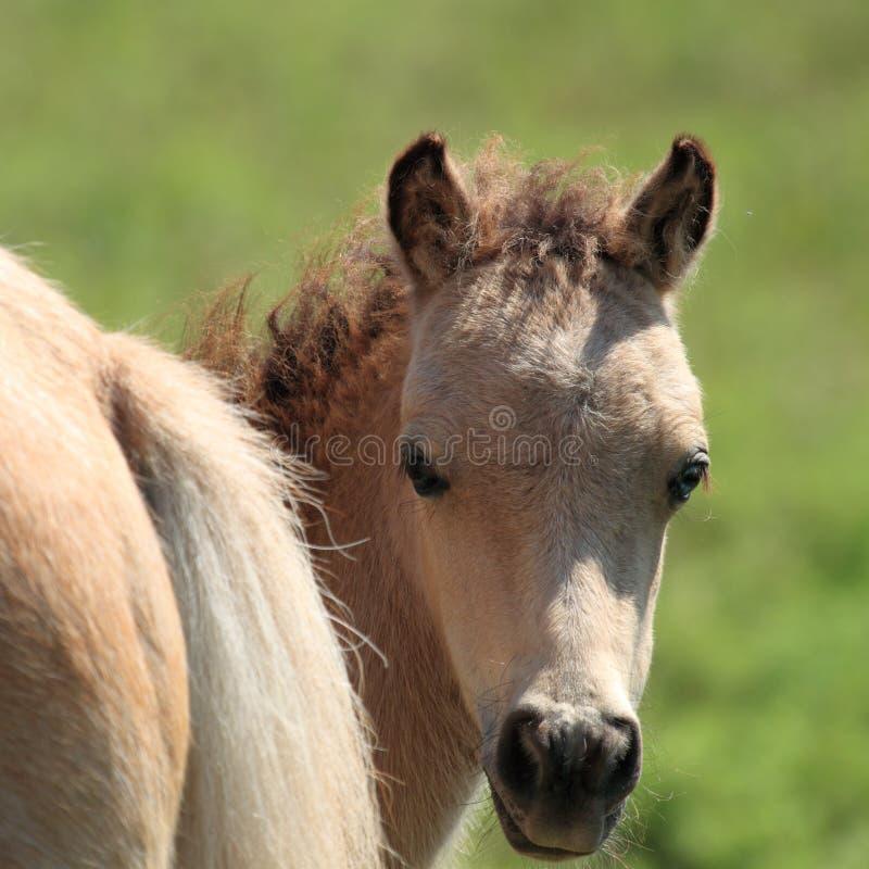 Miniatuur Paard Peekaboo royalty-vrije stock afbeelding